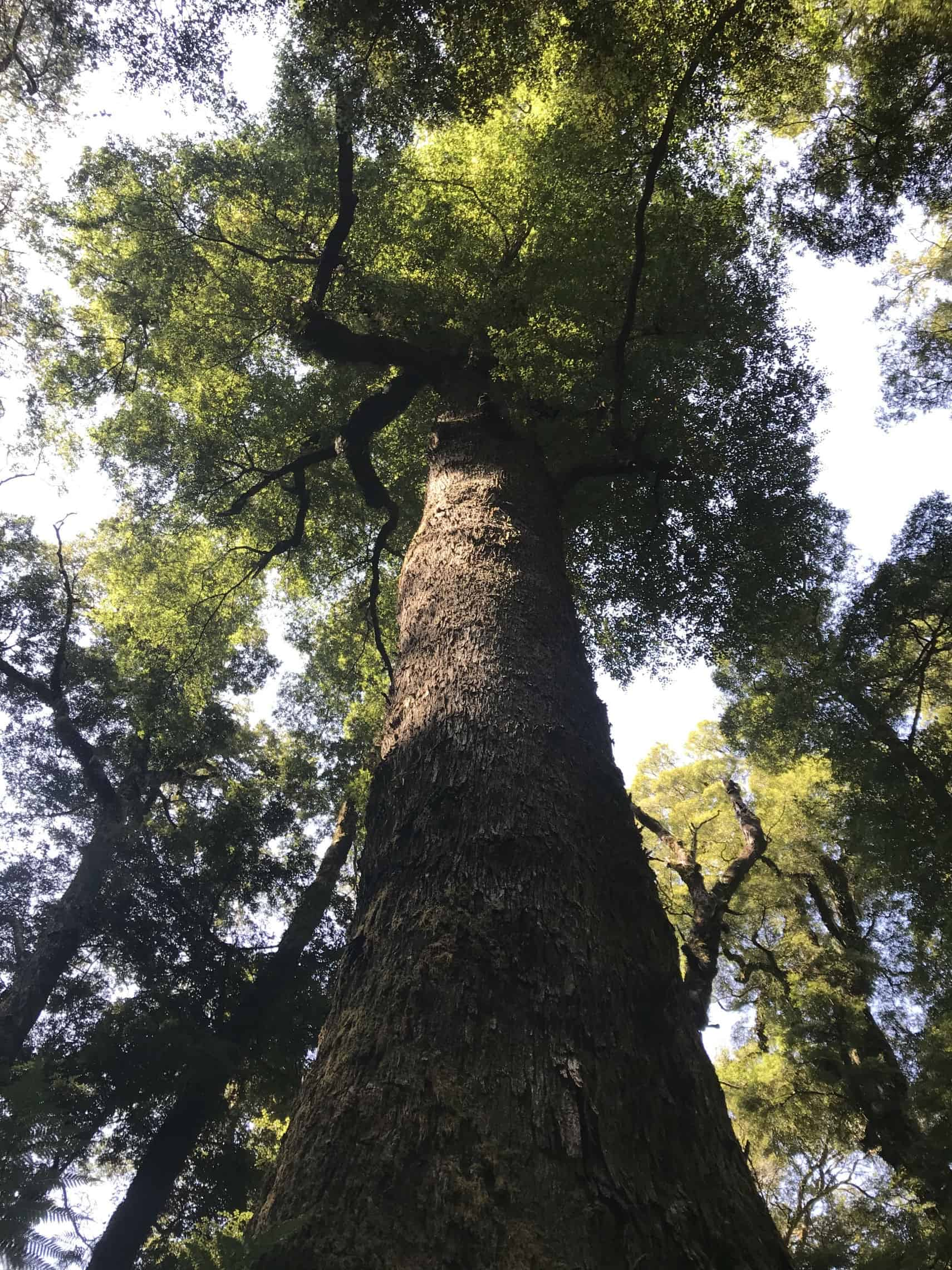 Giant Trees of Kaimanawa Ranges